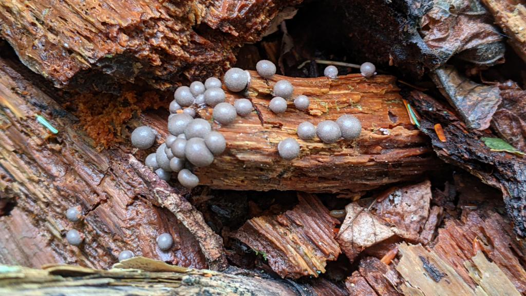 Mushrooms growing on a rotten log.